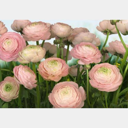 Gentle Rosé